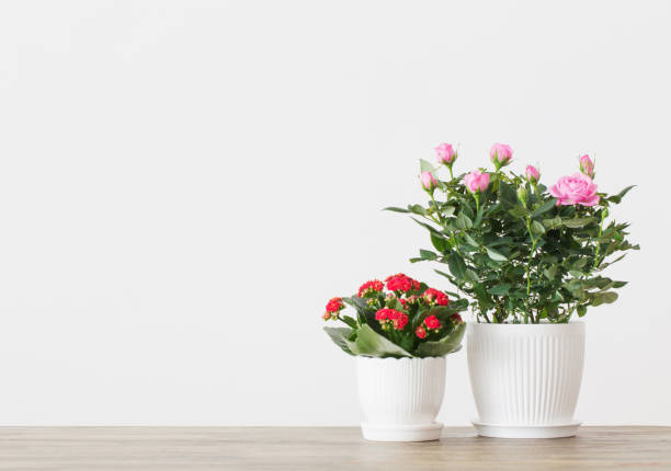 beautiful potted flowers on  background white wall - angiospermas imagens e fotografias de stock