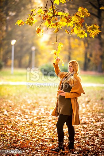 A pregnant lady pulling on a branch of yellowing leaves while holding a mobile phone in a public park during autumn.