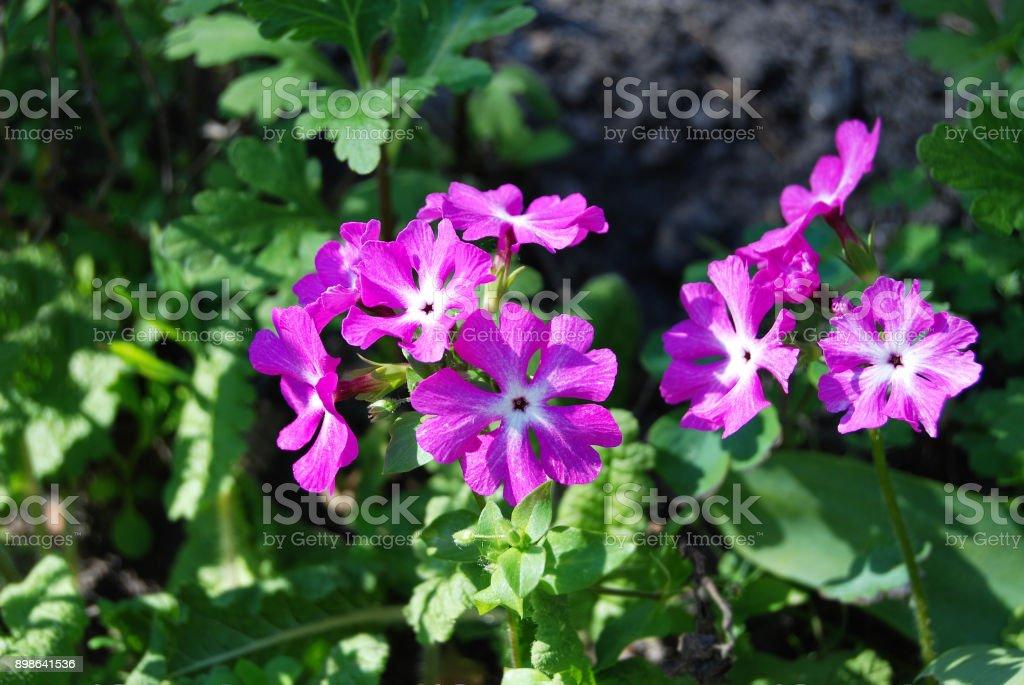 Beautiful primula flower stock photo