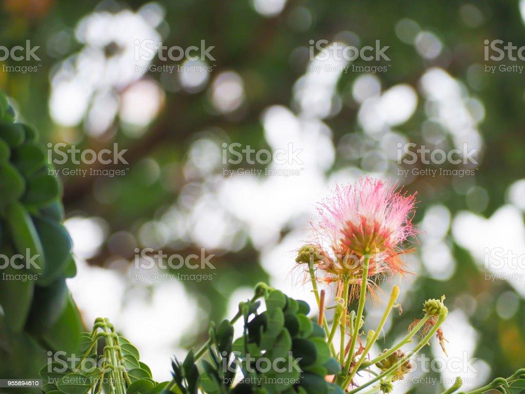 Beautiful puff of pink mimosa flower on tree with blur leaf green beautiful puff of pink mimosa flower on tree with blur leaf green background royalty mightylinksfo