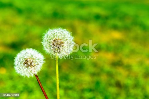 2 Beautiful Blowballs close-up with a green background