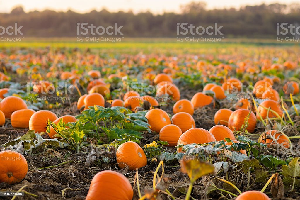 Beautiful pumpkin patch stock photo