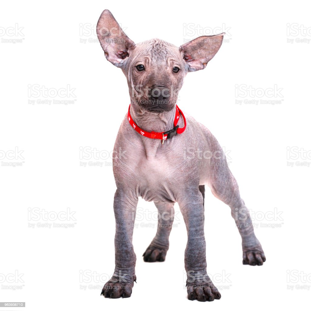 beautiful puppy Mexican naked dog in a red collar looks straight. Isolated on white background. - Royalty-free Animal Stock Photo
