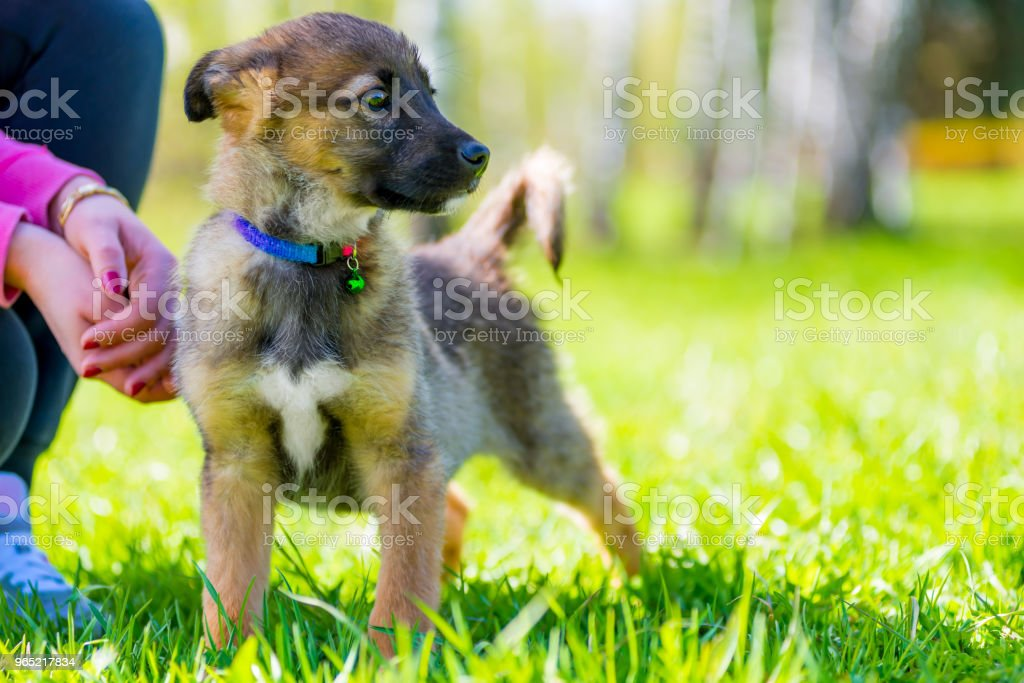 beautiful puppy on a walk in the park with his mistress royalty-free stock photo