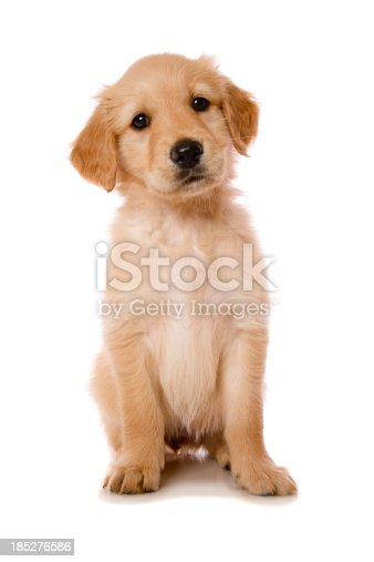A beautiful Golden Retriever, Cocker Spaniel cross puppy isolated on white.