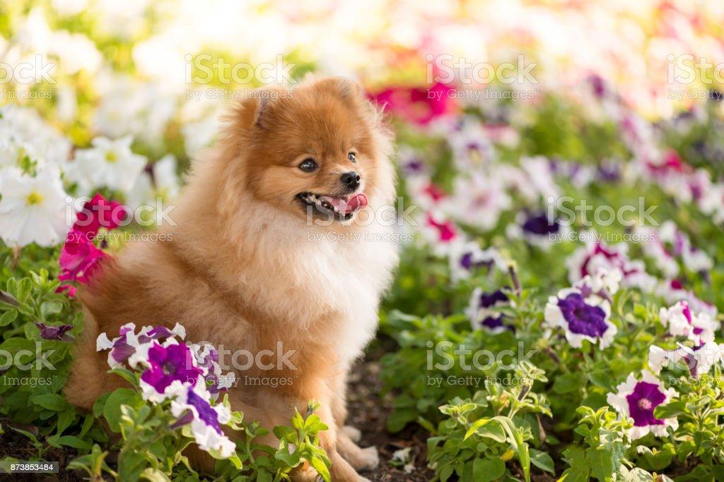 Beautiful puppy Spitz sitting happy among the flowers of Petunia. stock photo