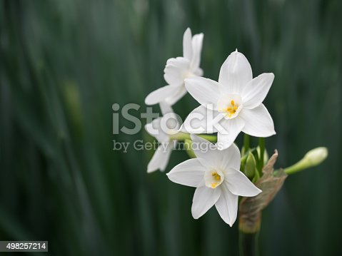 Beautiful pure white narcissus.