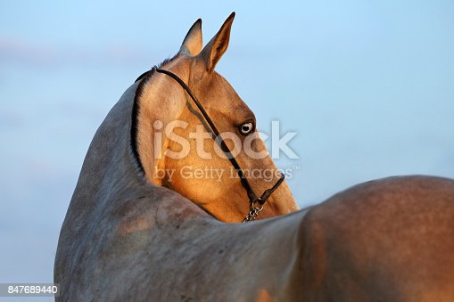 Portrait of beautiful purebred akhalteke mare in evening