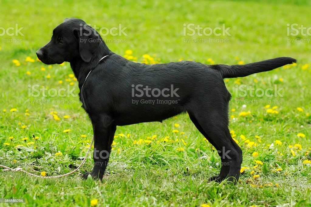Beautiful purebred black Labrador puppy is in the show position stock photo