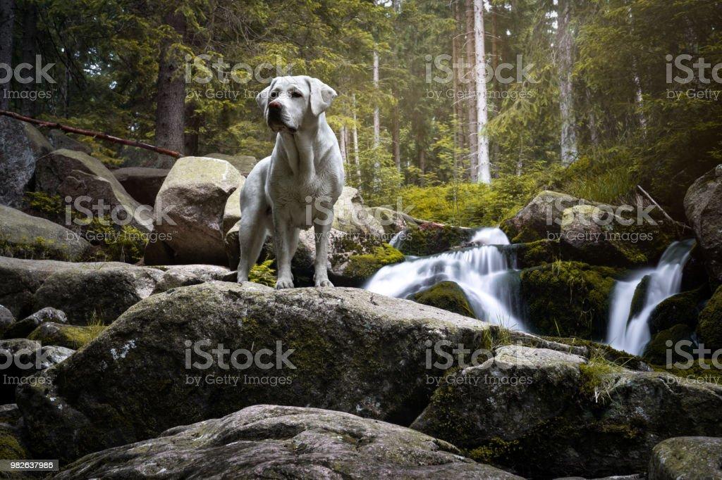 schöne reinrassige Labrador Retriever Hund Welpe stehend in einem grünen Wald in Fron des Wasserfalls – Foto
