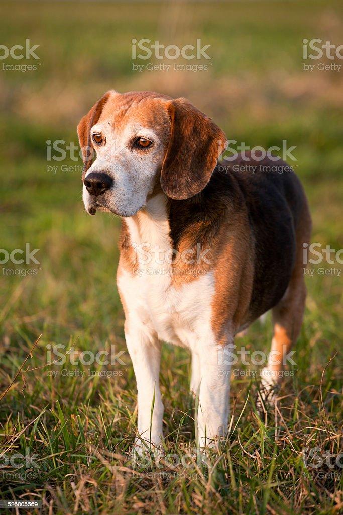 Bellissimo Intelligente Di Razza Beagle Cane Da Caccia In Estate