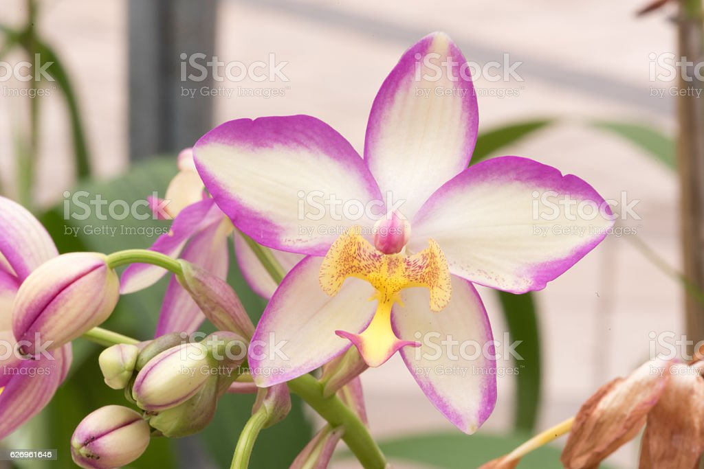 Beautiful purle orchid flowers : selective focus. stock photo