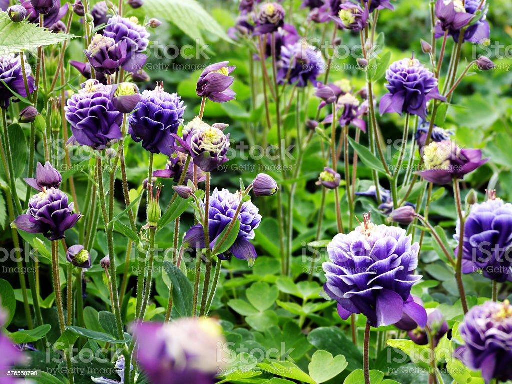 Beautiful Purple And Blue Garden Flowers Wildflowers Stock Photo