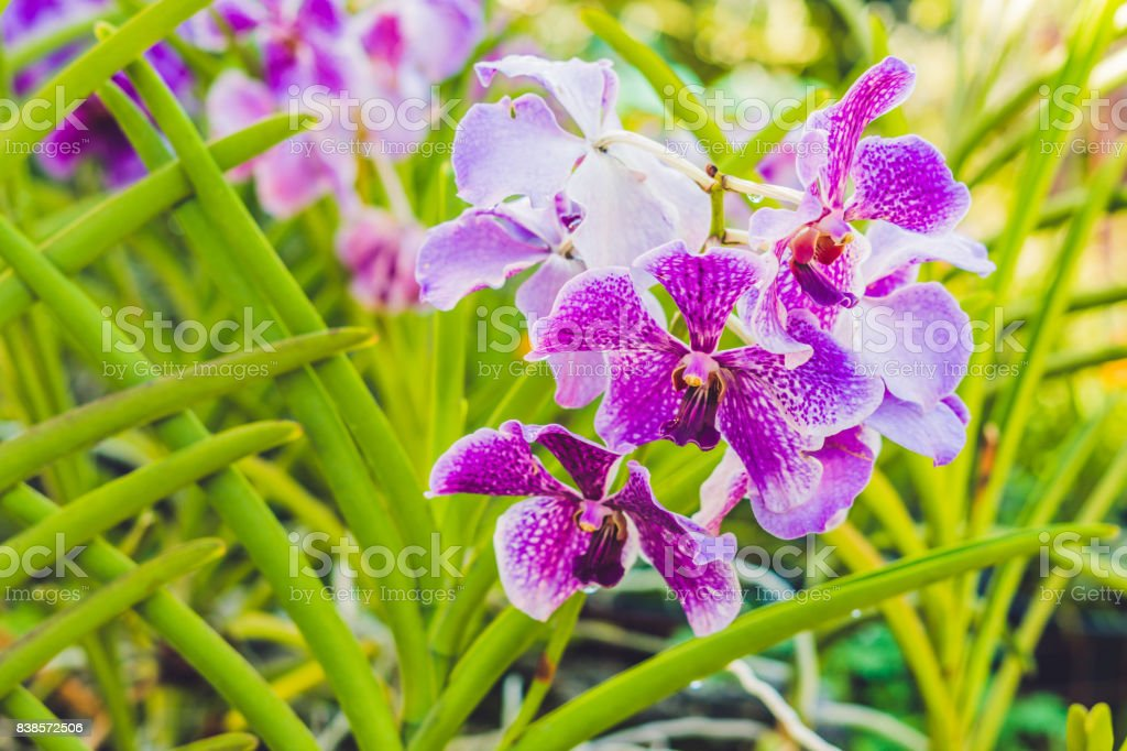 A beautiful purple and pink orchids flower on a branch hanging in a beautiful purple and pink orchids flower on a branch hanging in the air royalty mightylinksfo