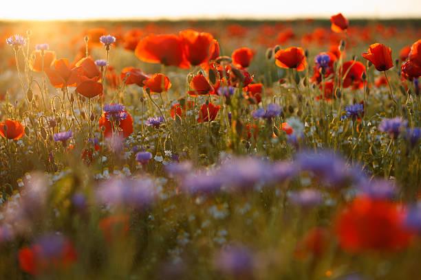 Beautiful purple and red poppy field in hazy sunlight stock photo