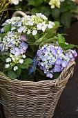 Beautiful purple and white hydrangea plants in a wicker basket