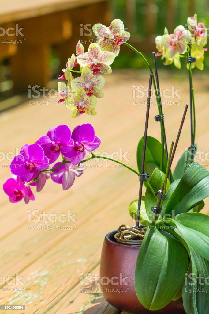 Schöne lila und gelb Orchideenblüten Phalaenopsis auf Terrasse. Tiefenschärfe, flachen Dof. – Foto