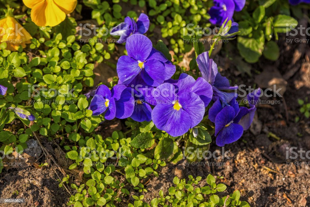 Beautiful purple and yellow viola tricolor flower royalty-free stock photo