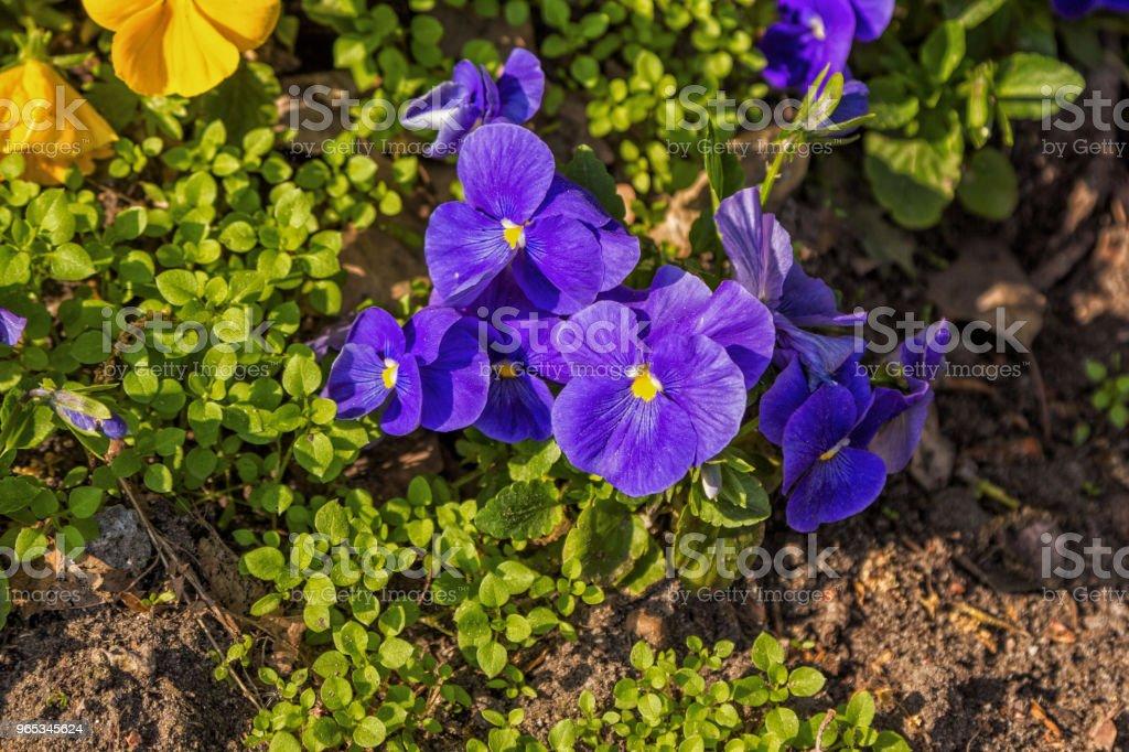 Beautiful purple and yellow viola tricolor flower zbiór zdjęć royalty-free