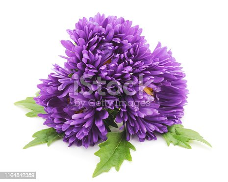 Beautiful purple asters isolated on a white background.