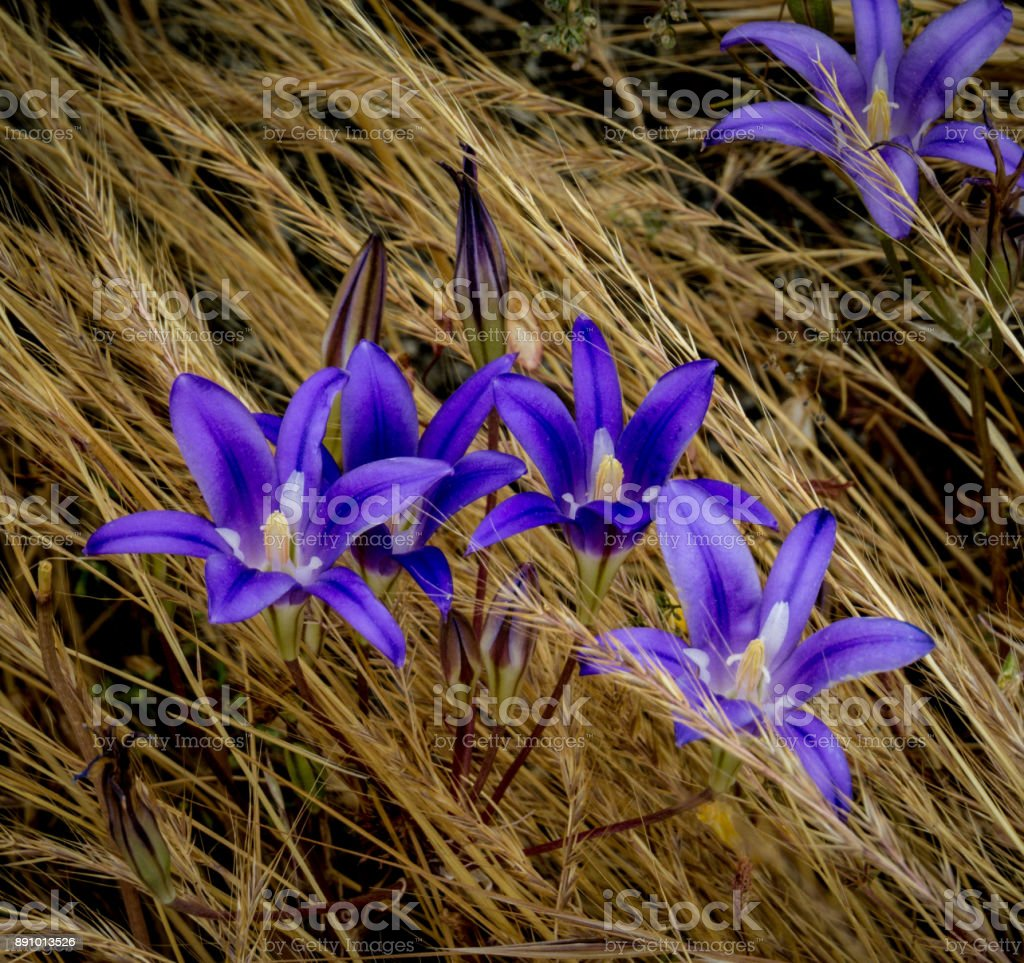 Beautiful purple bulb lily, Brodiaea elegans, stands in  vibrant contrast to the brown meadow grass stock photo