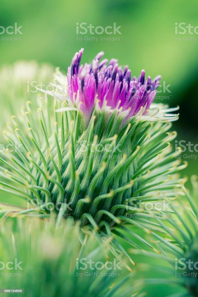 Beautiful purple burdock flower - foto stock