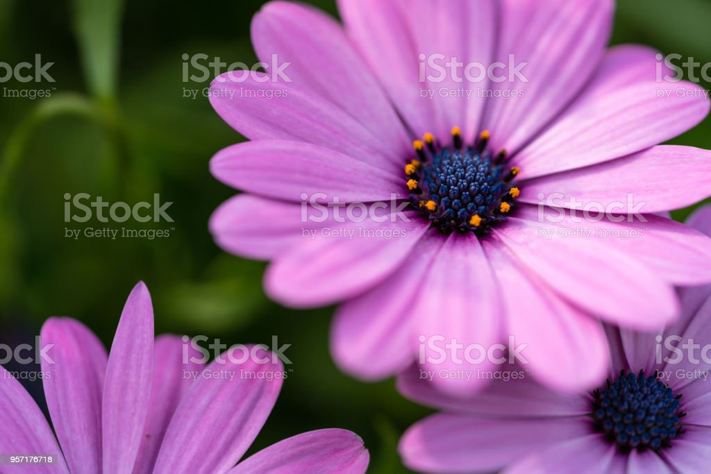 beautiful purple chrysanthemum family stock photo