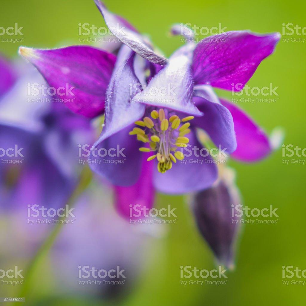 Beautiful purple columbine flower back lit stock photo istock beautiful purple columbine flower back lit royalty free stock photo izmirmasajfo