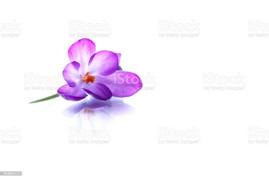 Beautiful purple crocus flower stock photo