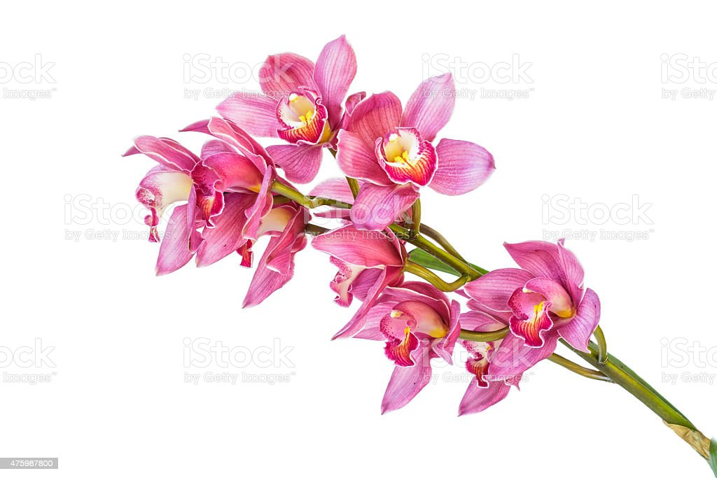 Beautiful purple cymbidium flower orchid isolated on white background. stock photo