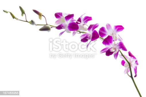 Bunch of luxury magenta and white orchid flowers isolated on white background. Studio shot.