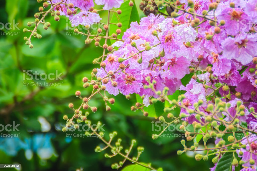 Beautiful purple flower of Lagerstroemia speciosa (giant crape-myrtle, Queen's crape-myrtle, banaba plant for Philippines, or Pride of India), species of Lagerstroemia native to tropical southern Asia stock photo