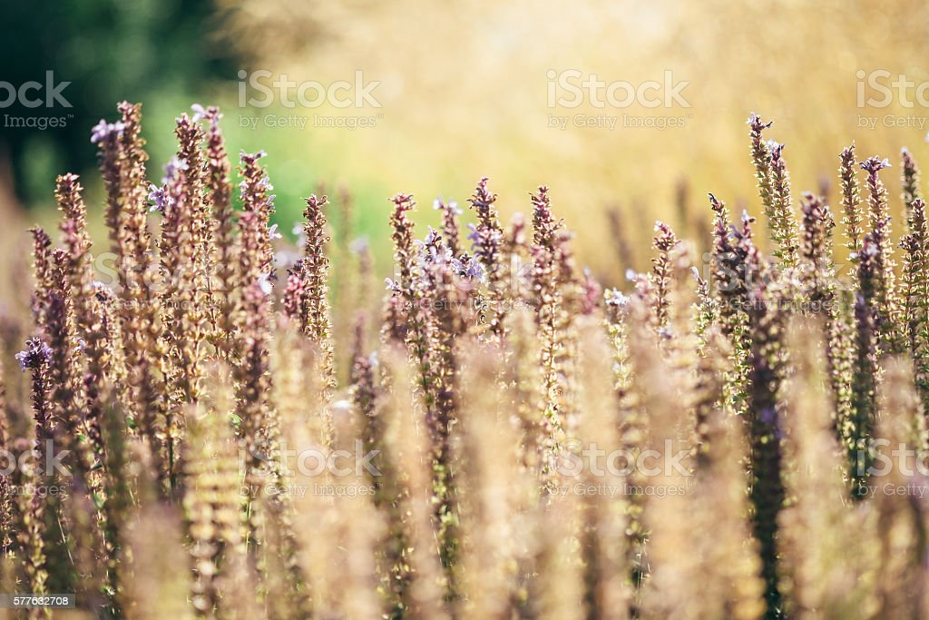 Beautiful purple flowers and dry gold oats in meadow with soft focus,...