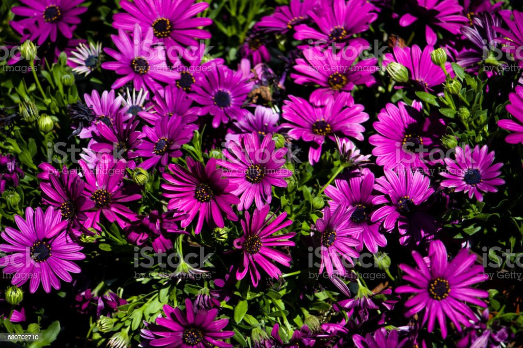 Beautiful purple flowers in the botanical garden of Barcelona, Spain stock photo