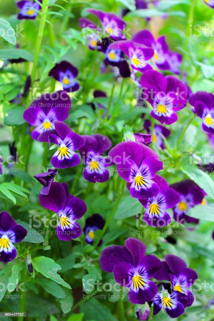 Belles fleurs mauves sur le lit de la fleur - Photo de Beauté libre de droits