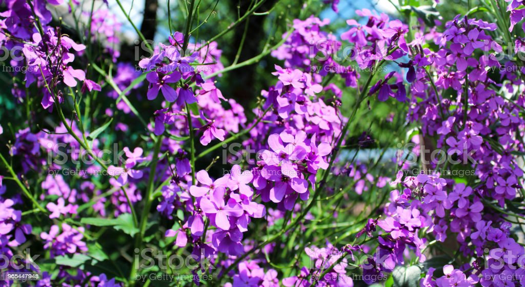 Beautiful purple flowers on the flower bed royalty-free stock photo