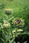 Close Up of Purple Globe Artichokes WIth Soft Focus Background For Copy Space