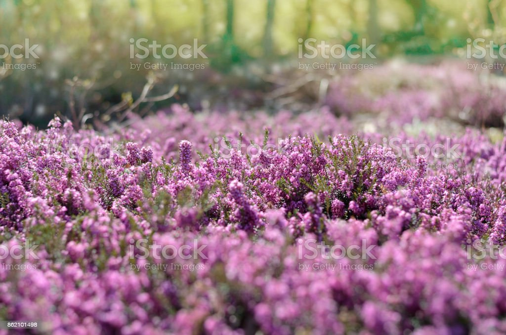 Beautiful purple heather cover in a field full of spring sunlight. Soft focused natural seasonal background stock photo