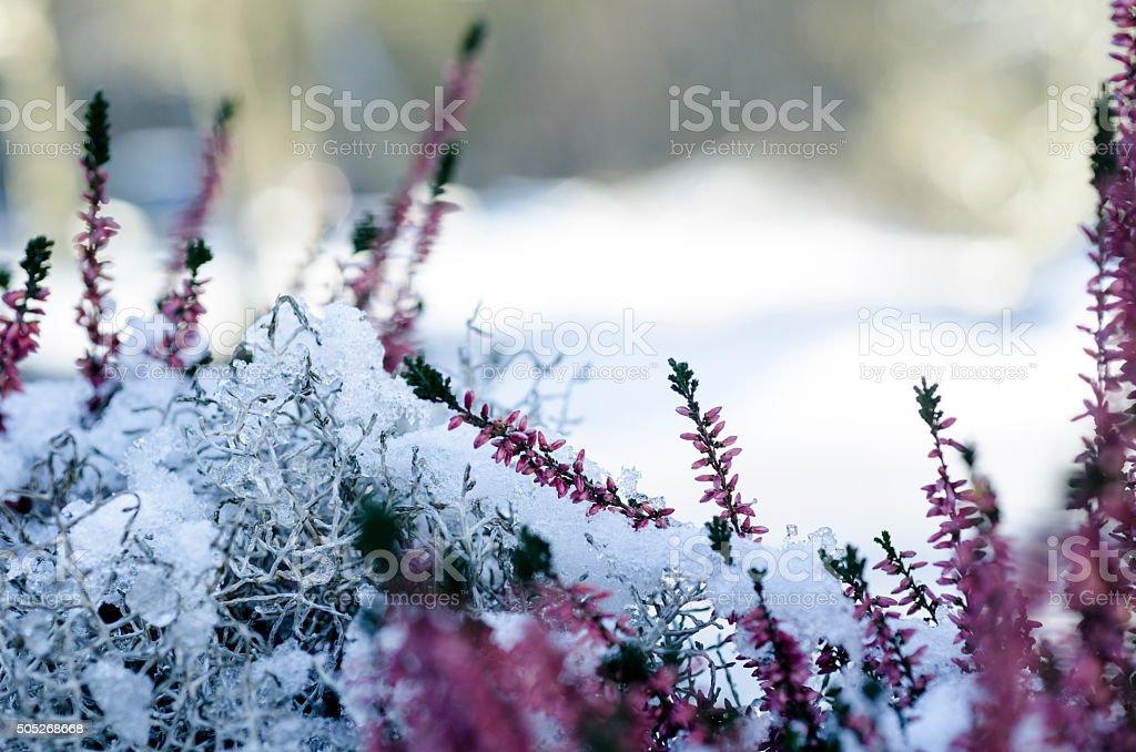 Beautiful purple heather in the white snow stock photo