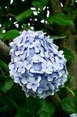 A beautiful purple hydrangea