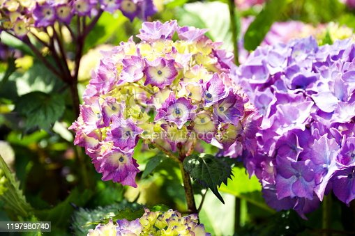 A Nature Background of Beautiful Hydrangea Flowers Close-Up.