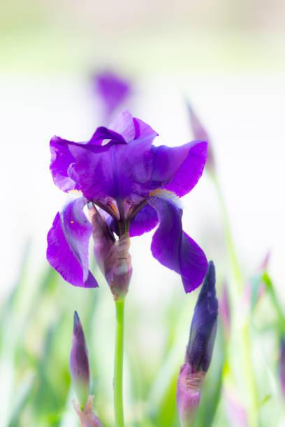 Beautiful Purple Iris stock photo