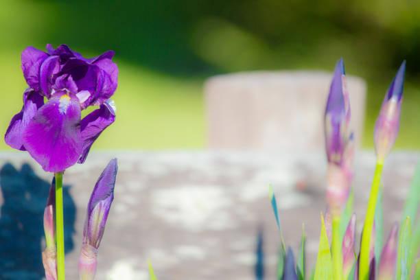 Beautiful Purple Iris with backlit bright sunlight stock photo