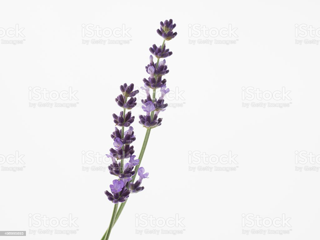 Beautiful purple lavender isolated on white background stock photo