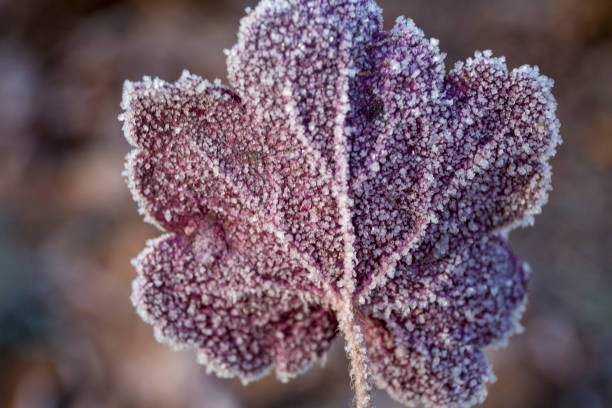 Beautiful purple leaf of heuchera in frost crystals close-up stock photo