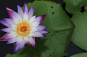 Beautiful purple lotus with blurred backgrounds