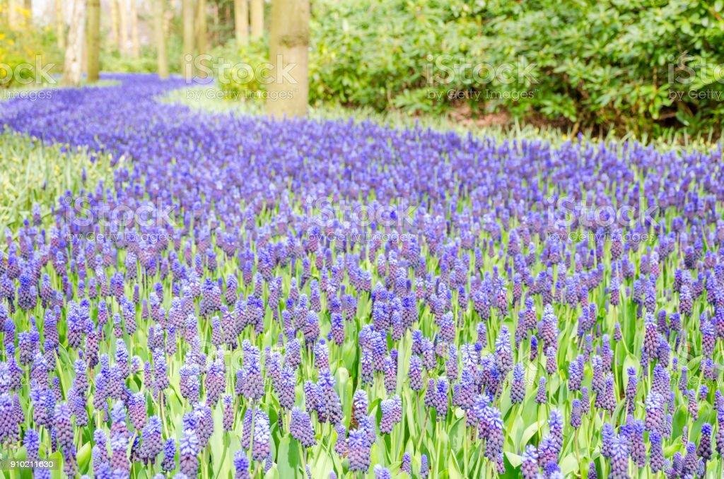 Beautiful purple muscari flowers. stock photo