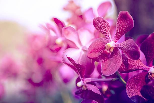 Belle fleur d'orchidée pourpre arbre. - Photo