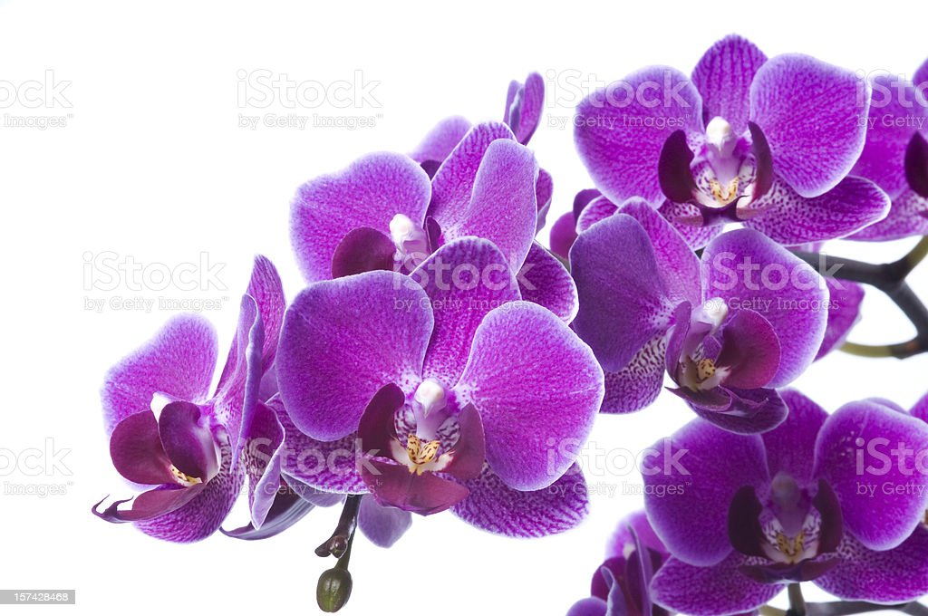 Beautiful purple orchid on white royalty-free stock photo