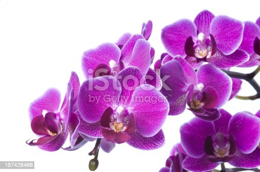 Fresh luxury bunch of violet orchid flowers isolated on white background. Studio shot.